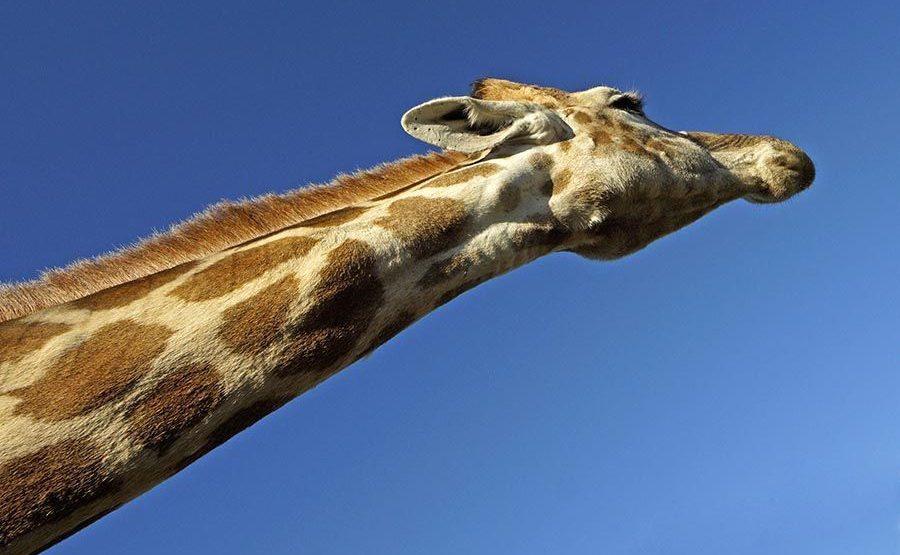 AFQ-Benny-Rebel-Fotoreise-Suedafrika-Giraffe
