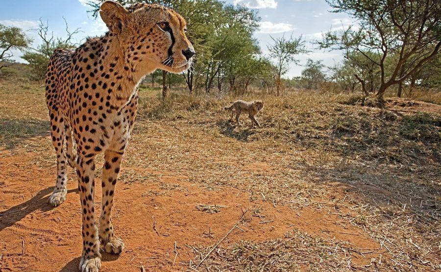 AG-Benny-Rebel-Fotoreise-Suedafrika-Gepard