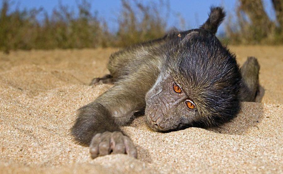 Fotoreisen durch Afrika - Paviane
