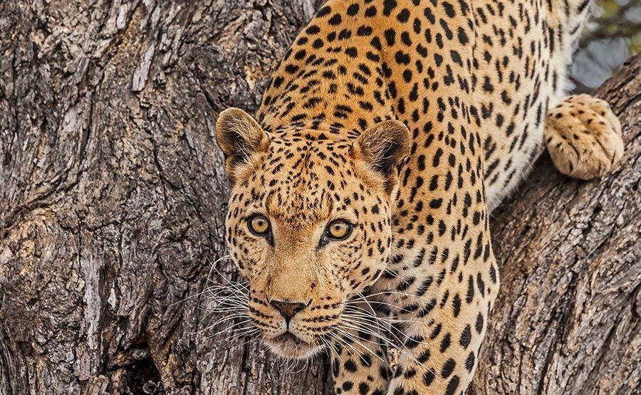 AGA-Benny-Rebel-Fotoreise-Suedafrika-Leopard