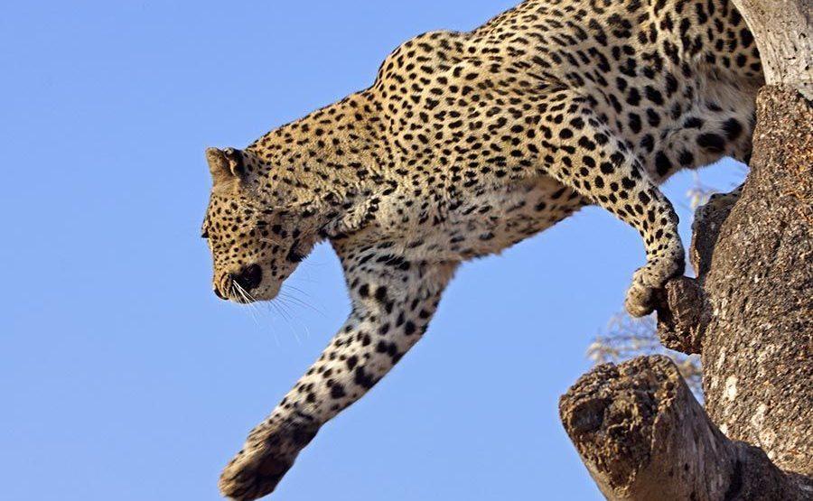 AGB-Benny-Rebel-Fotoreise-Suedafrika-Leopard