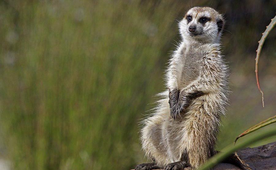 AGC-Benny-Rebel-Fotoreise-Suedafrika-Erdmaenchen
