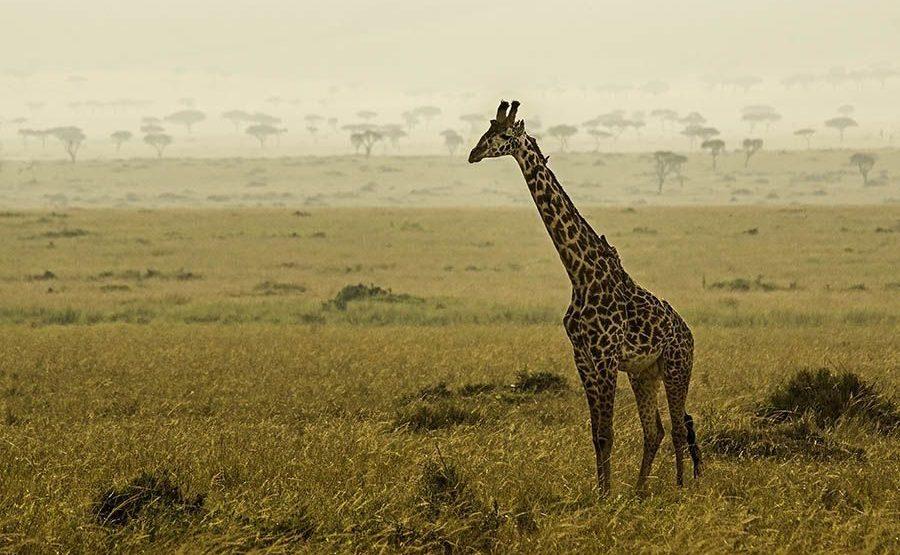 AH-Benny-Rebel-Fotoreise-Kenia-Giraffe