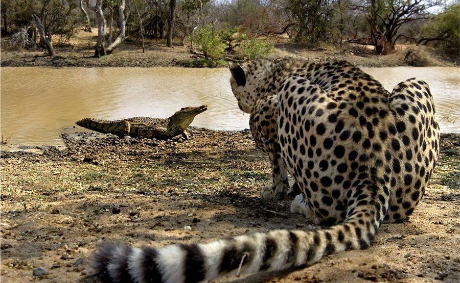 AH-Benny-Rebel-Fotoreise-Suedafrika-Gepard