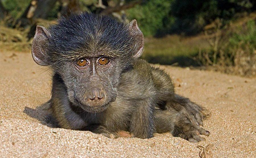 AH-Benny-Rebel-Fotoreise-Suedafrika-Pavian