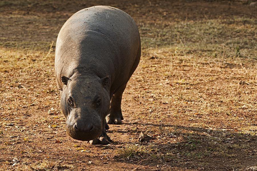 AH-Benny-Rebel-Fotoreise-Zwergflusspferd-Afrika