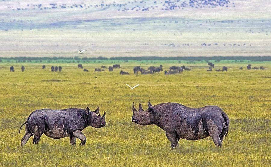 AHQ-Benny-Rebel-Fotoreise-Tanzania-Nashorn-Spitzmaul