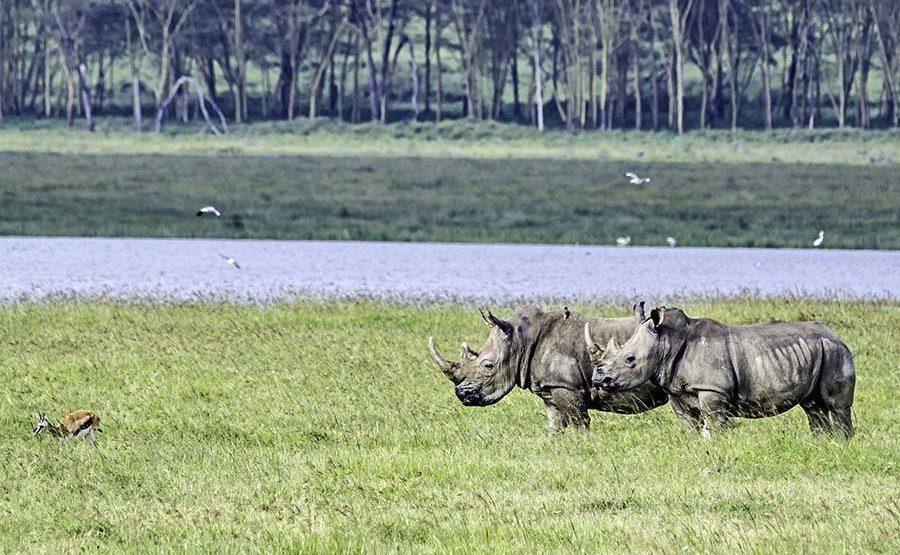 AHQS-Benny-Rebel-Fotoreise-Kenia-Nashorn-Breitmaul
