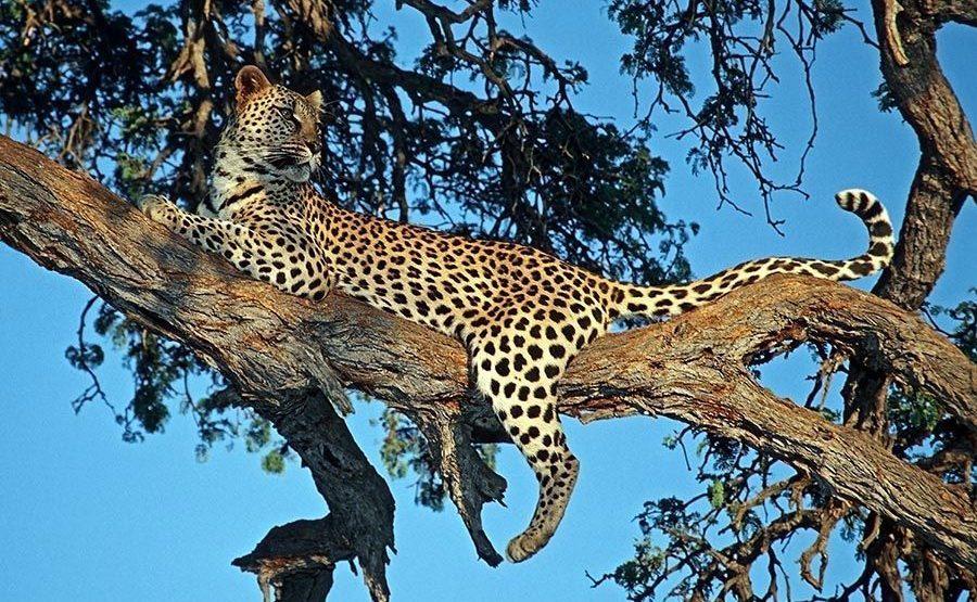 AI-Benny-Rebel-Fotoreise-Namibia-Leopard