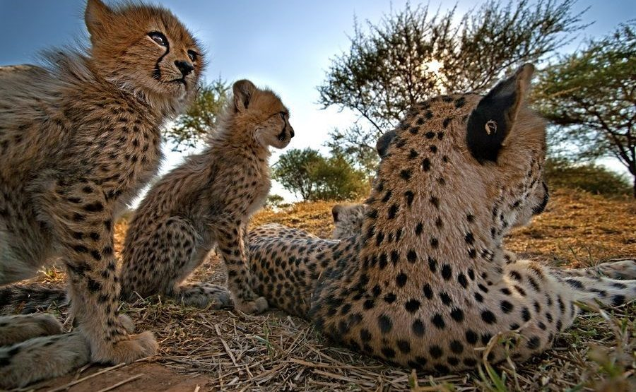 AI-Benny-Rebel-Fotoreise-Suedafrika-Gepard