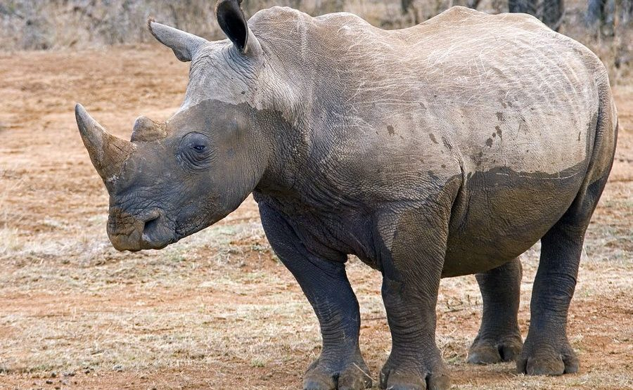 AI-Benny-Rebel-Fotoreise-Swaziland-Breitmaul-Nashorn