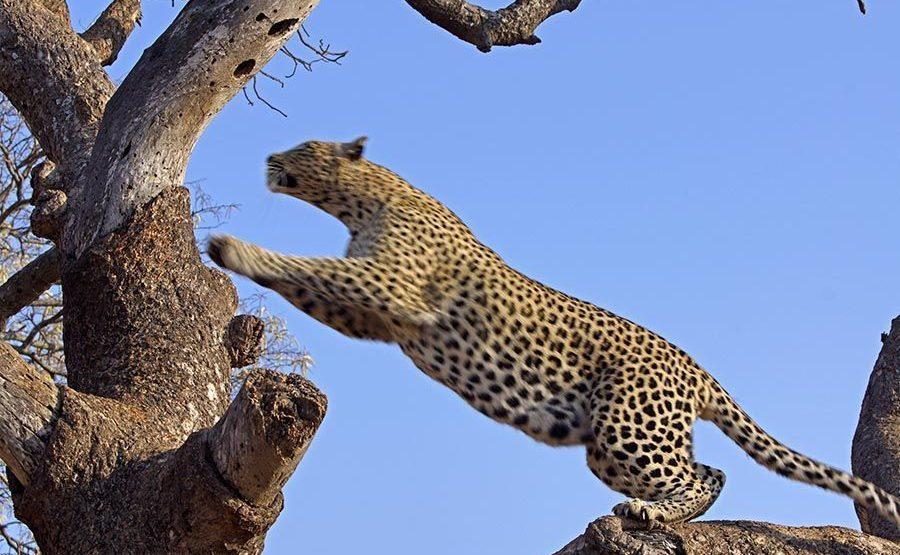 AIA-Benny-Rebel-Fotoreise-Suedafrika-Leopard