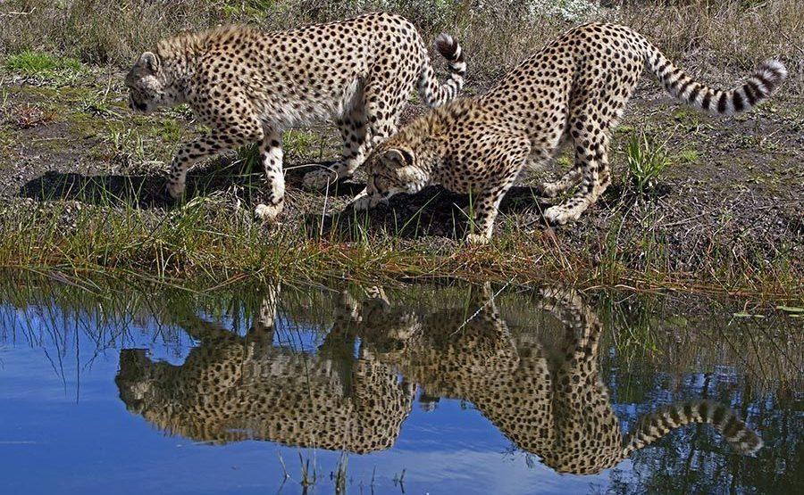 AIB-Benny-Rebel-Fotoreise-Suedafrika-Gepard