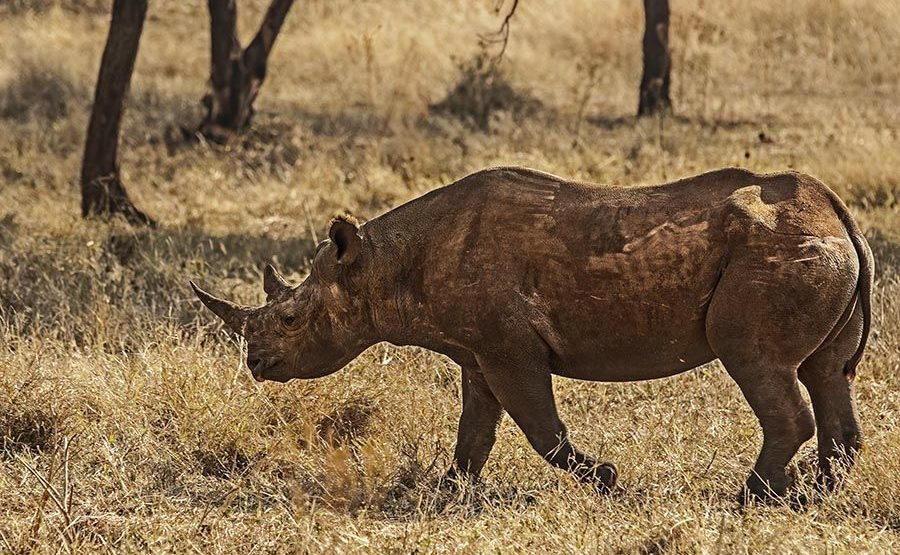 AIC-Benny-Rebel-Fotoreise-Suedafrika-Nashorn-Spitzmaul