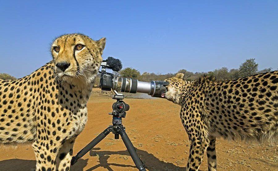AJ-Benny-Rebel-Fotoreise-Suedafrika-Gepard