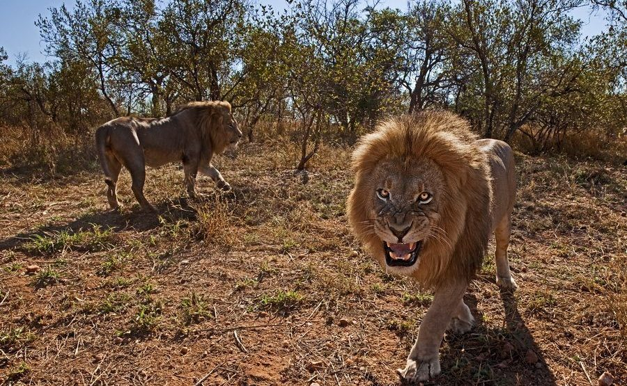 AJ-Benny-Rebel-Fotoreise-Suedafrika-Loewe