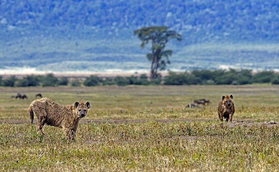 AJ-Benny-Rebel-Fotoreise-Tansania-Hyaene