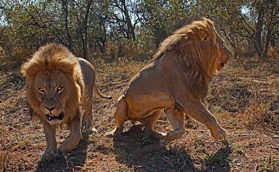 AJR-Benny-Rebel-Fotoreise-Suedafrika-Loewe