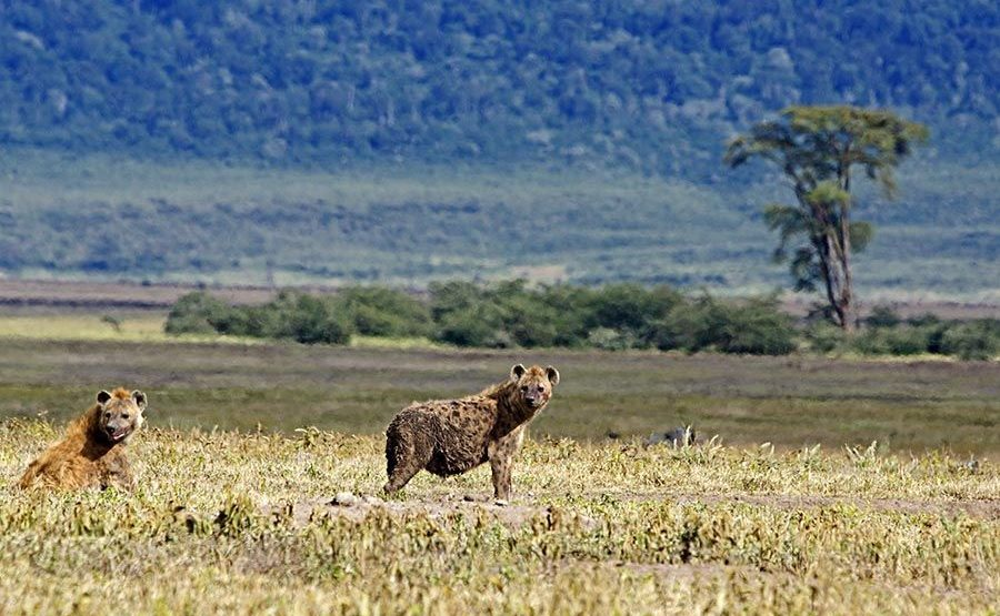 AK-Benny-Rebel-Fotoreise-Tansania-Hyaene
