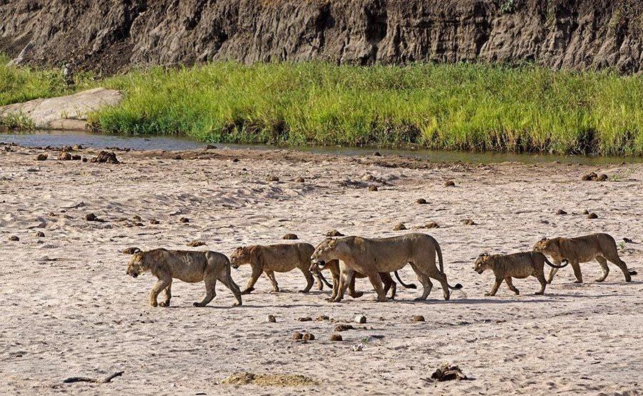 AK-Benny-Rebel-Fotoreise-Tansania-Loewe