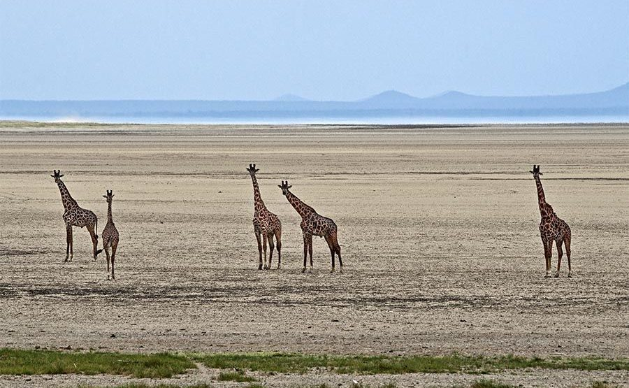 AKA-Benny-Rebel-Fotoreise-Tansania-Giraffe