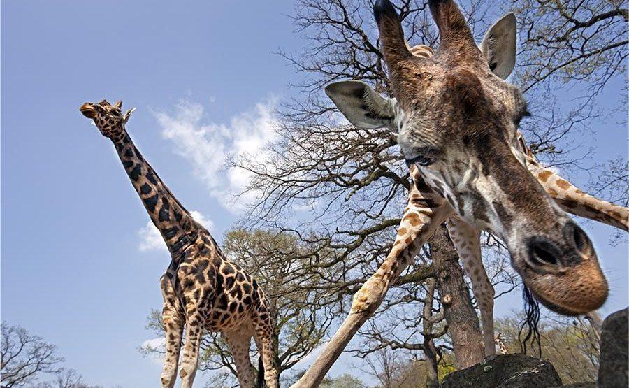 AKAB-Benny-Rebel-Fotoreise-Tansania-Giraffe