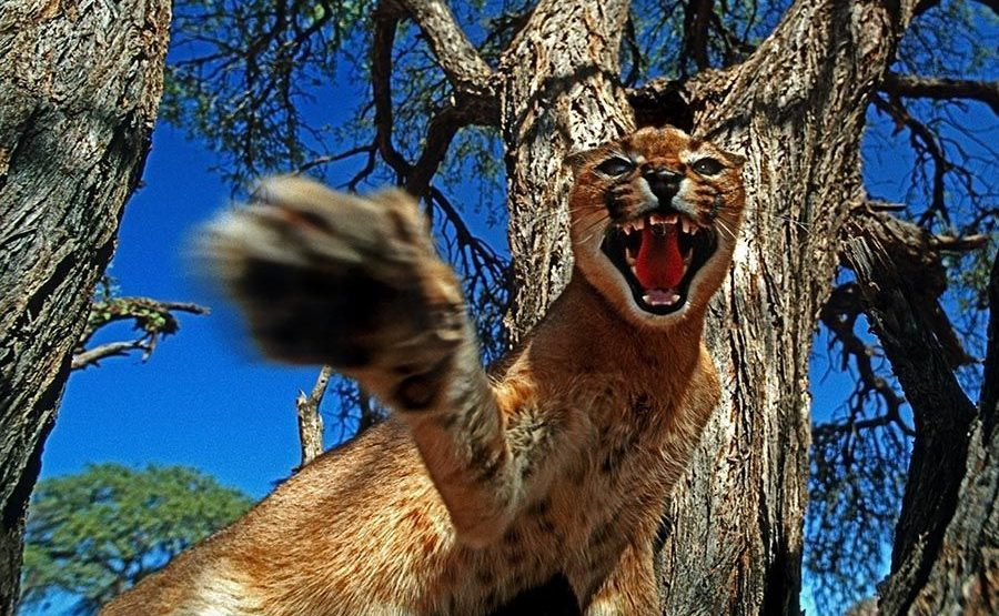 AL-Benny-Rebel-Fotoreise-Namibia-KarakalLuchs