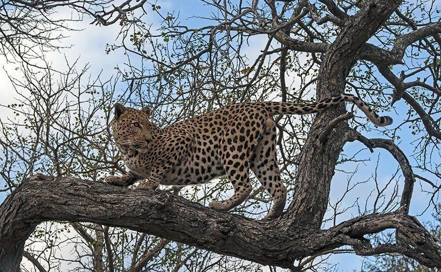 AL-Benny-Rebel-Fotoreise-Suedafrika-Leopard