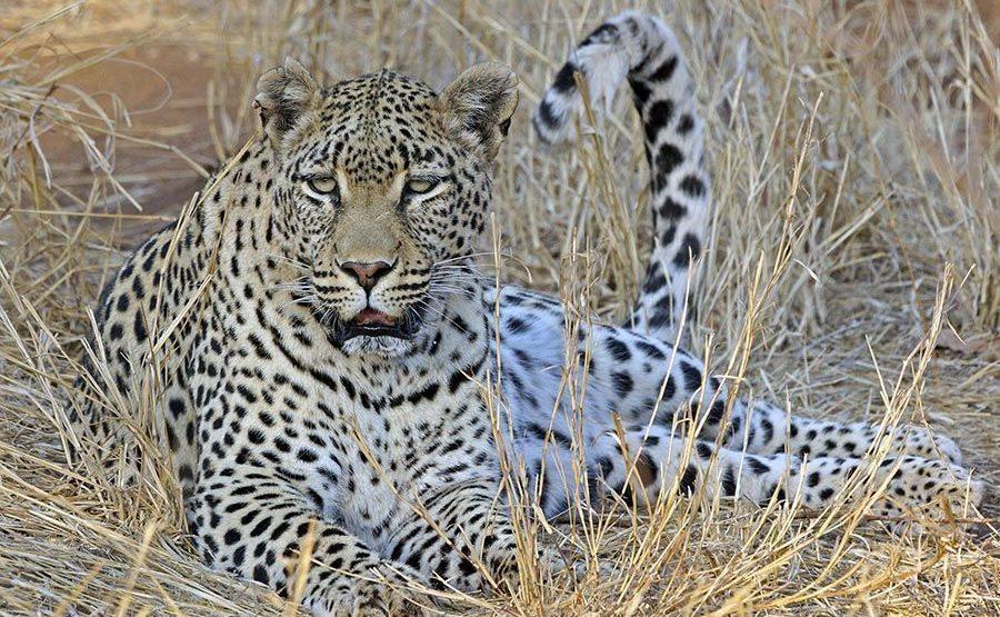 ALA-Benny-Rebel-Fotoreise-Suedafrika-Leopard