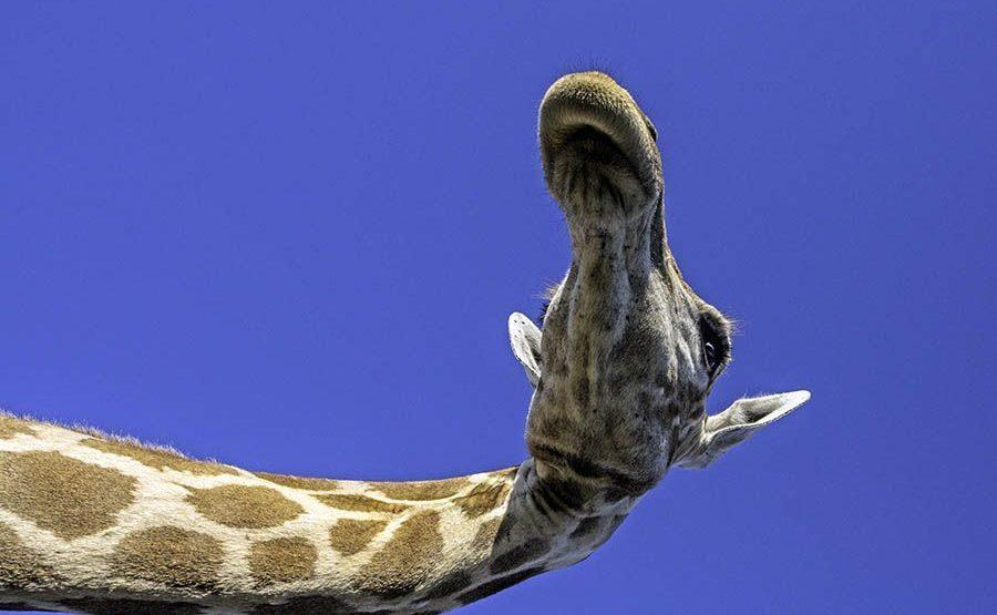 AM-Benny-Rebel-Fotoreise-Suedafrika-Giraffe
