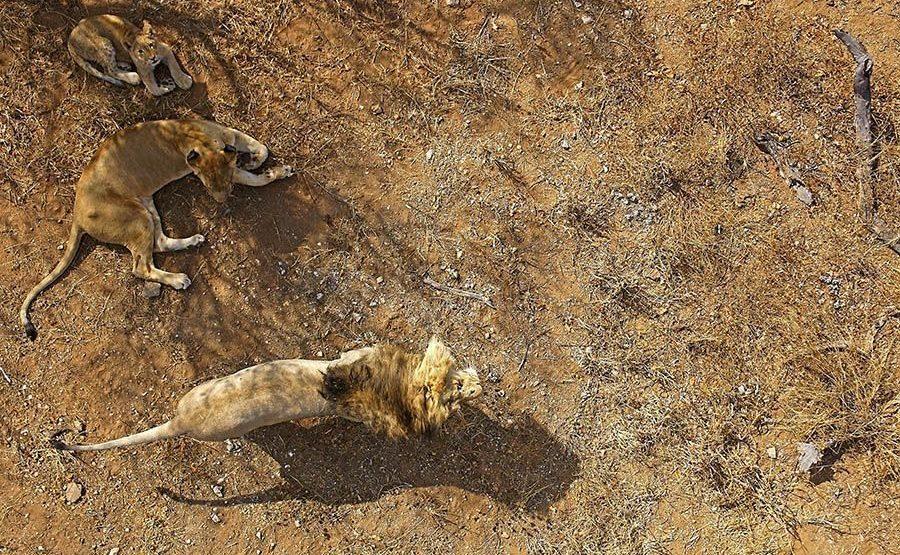 AM-Benny-Rebel-Fotoreise-Suedafrika-Loewe