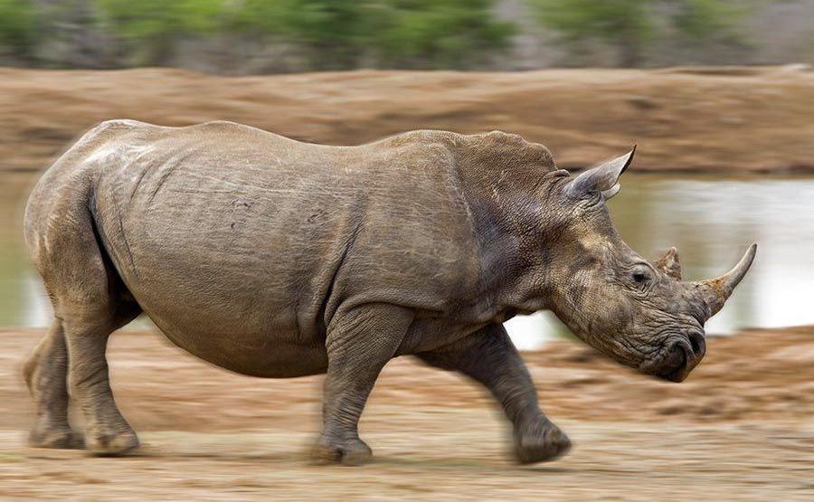 AM-Benny-Rebel-Fotoreise-Swaziland-Breitmaul-Nashorn