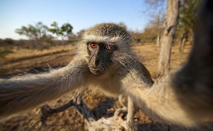 AN-Benny-Rebel-Fotoreise-Suedafrika-GrueneMeerkatze
