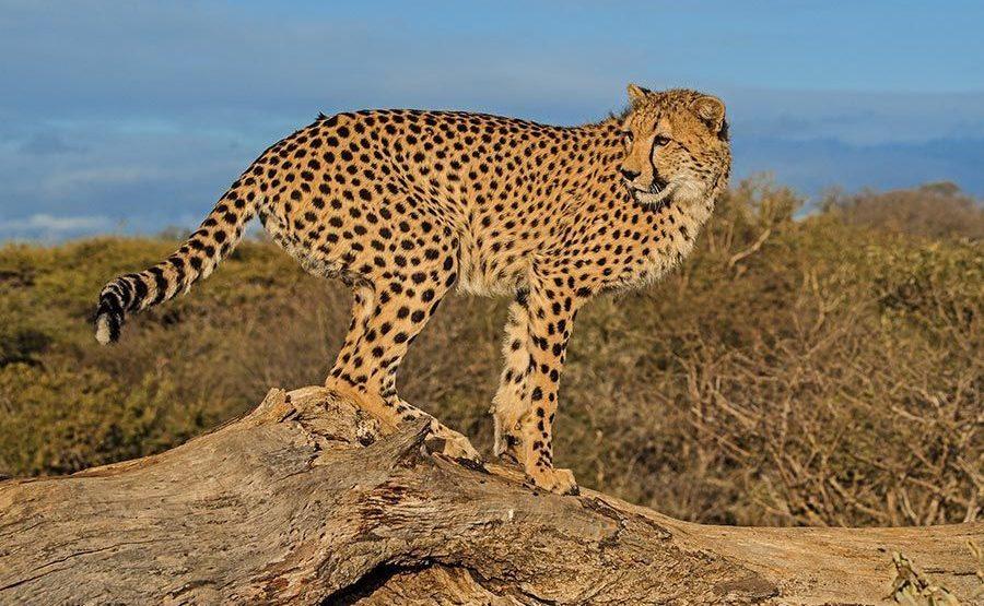 ANA-Benny-Rebel-Fotoreise-Suedafrika-Gepard