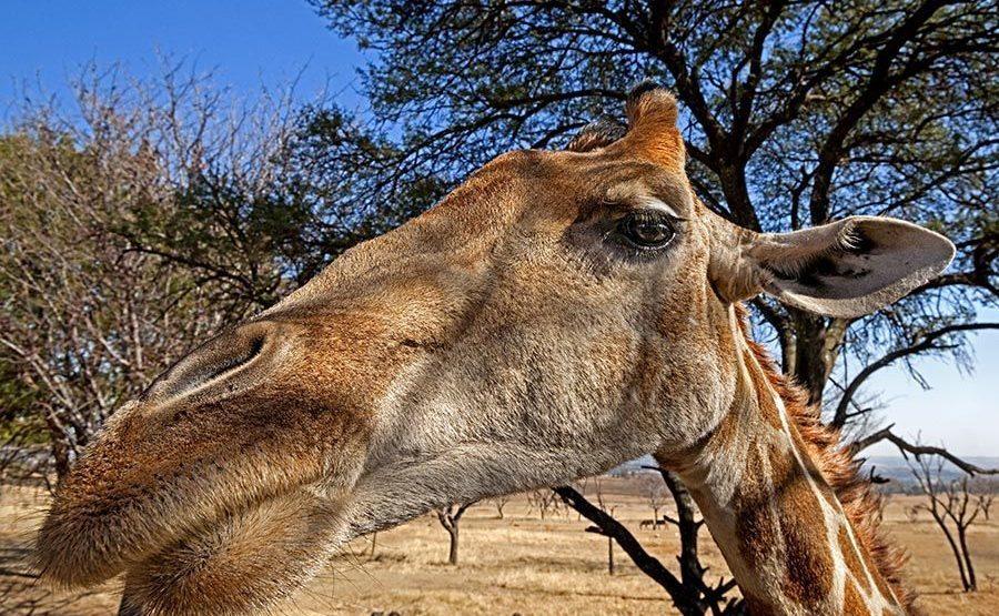 ANA-Benny-Rebel-Fotoreise-Suedafrika-Giraffe