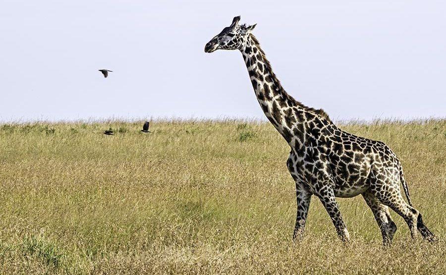 ANB-Benny-Rebel-Fotoreise-Kenia-Giraffe