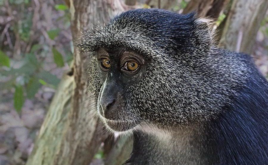 ANB-Benny-Rebel-Fotoreise-Tansania-DiademMeerkatze