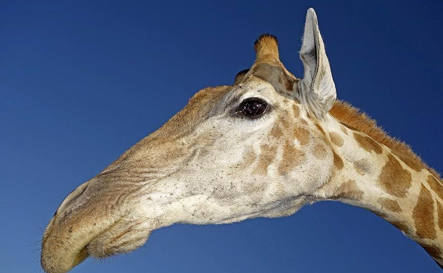 ANCA-Benny-Rebel-Fotoreise-Suedafrika-Giraffe