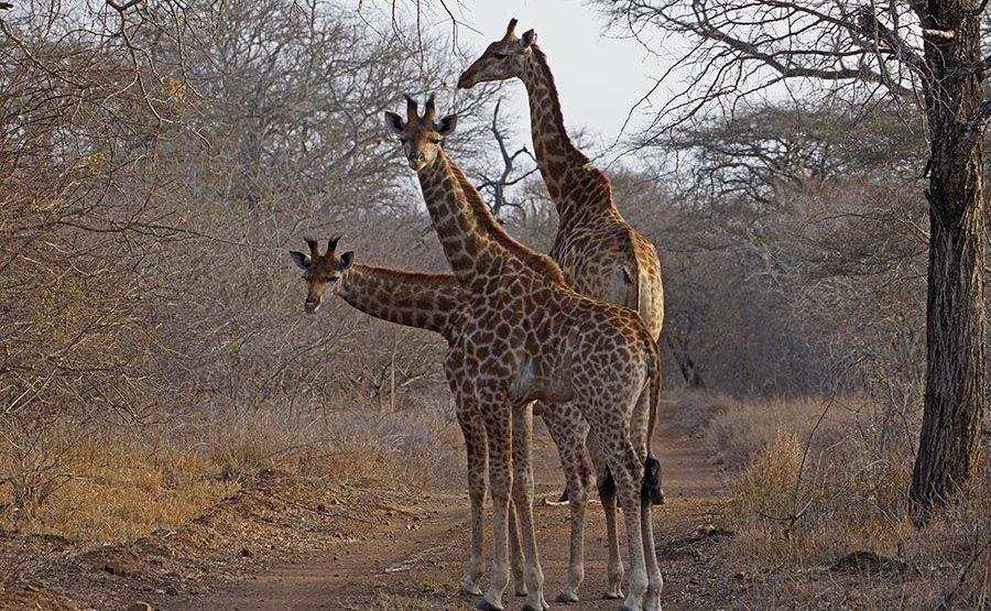 ANEA-Benny-Rebel-Fotoreise-Swaziland-Giraffe