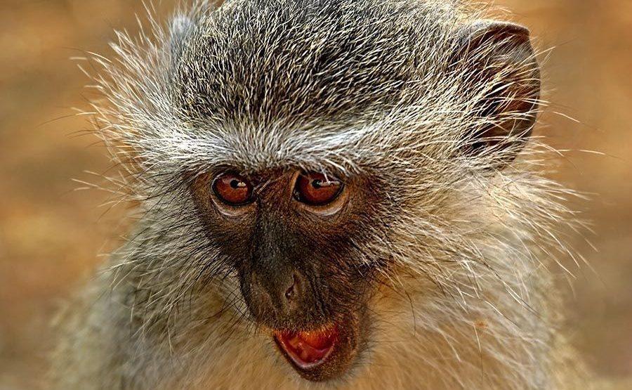 ANQ-Benny-Rebel-Fotoreise-Suedafrika-GrueneMeerkatze