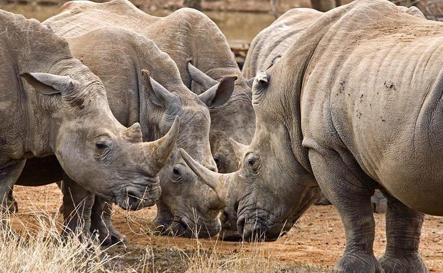 AO-Benny-Rebel-Fotoreise-Swaziland-Breitmaul-Nashorn