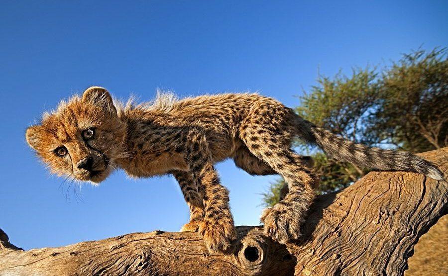AP-Benny-Rebel-Fotoreise-Suedafrika-Gepard