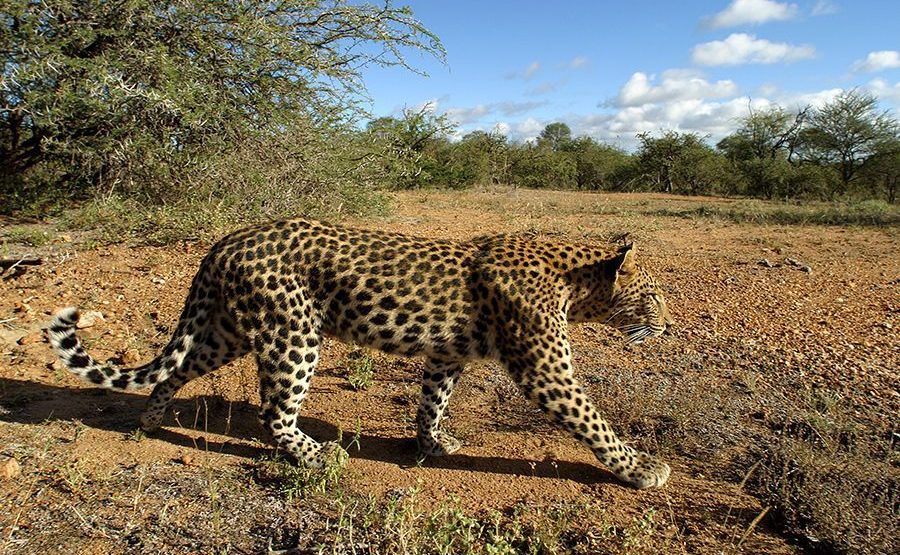 AP-Benny-Rebel-Fotoreise-Suedafrika-Leopard