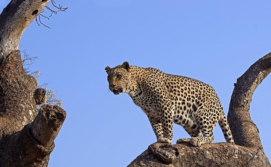 APA-Benny-Rebel-Fotoreise-Suedafrika-Leopard