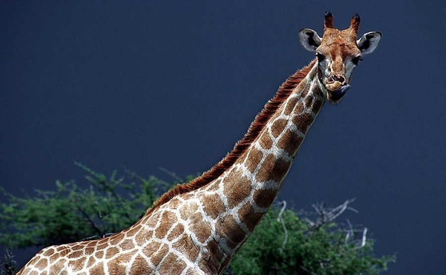 AQ-Benny-Rebel-Fotoreise-Namibia-Giraffe