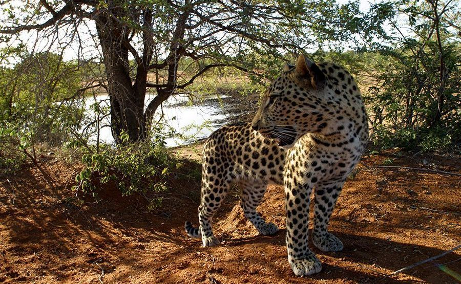 AQ-Benny-Rebel-Fotoreise-Suedafrika-Leopard