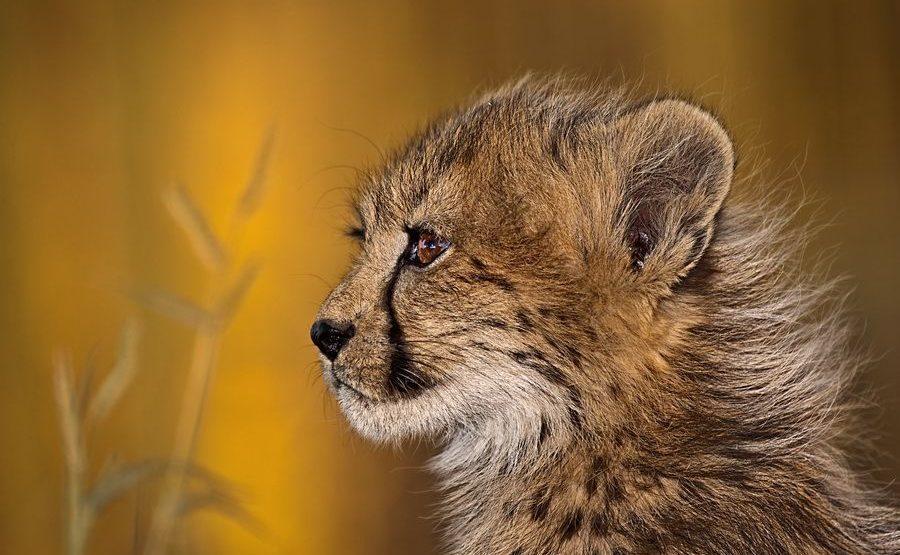 AR-Benny-Rebel-Fotoreise-Suedafrika-Gepard