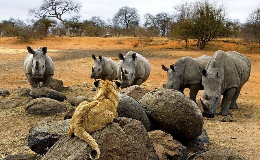 AR-Benny-Rebel-Fotoreise-Suedafrika-Loewe