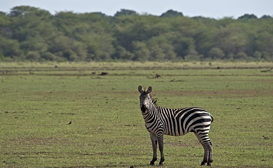 AR-Benny-Rebel-Fotoreise-Tansania-Zebra