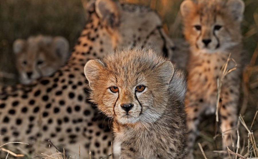 AS-Benny-Rebel-Fotoreise-Suedafrika-Gepard